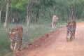 Year of the Tiger Dawns With Just 3,200 Wild Tigers Left