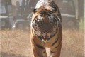 Year of the Tiger a Double or Nothing Gamble for Wild Tigers