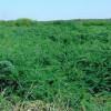 Invasive Biofuel Crops an Overlooked Danger