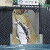 Whaling Commission Proposes Return to Commercial Whaling