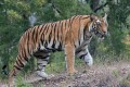 CITES Gives Enforcement of Tiger Trade Ban Top Priority