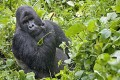 INTERPOL to Crack Down on Militias Killing Congo Gorillas