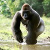 Gorillas the Origin of Human Malaria's Most Lethal Strain