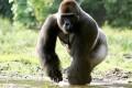 Gorillas the Origin of Human Malaria's Most Lethal Strain
