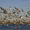 Landowners in Eight States Shelter Migrating Birds From Oil-Tainted Gulf