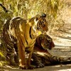 Wildlife Conservation Society Pledges $50 Million to Save Tigers