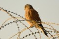 Birds Disappear From Afghanistan, Leaving Pests to Flourish