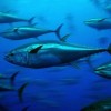 Fishing Nations Fail to Safeguard Atlantic Bluefin Tuna