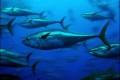 Fishing Nations Fail to Safeguard Atlantic Bluefin Tuna
