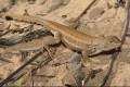 Lizard Proposed for Endangered List, Wolverine, Tortoise Must Wait