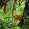 India to Establish More Tiger Reserves