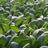 Radioactivity Contaminates Tokyo Vegetable, Water in Six Prefectures