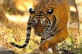 India's New Wild Tiger Census Shows Population Increase