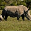 Rights for Rhinos Rangers Will Cross South Africa on Foot