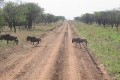 Tanzania Halts Plans for Road Bisecting Serengeti Migration