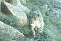 Snow Leopards Caught on Camera Traps in Afghanistan