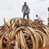 Kenya Sets Five Tonnes of Contraband Ivory Ablaze