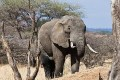 African Elephants to Benefit From New $100 Million Fund