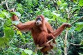 Indonesia Could Be Paid for Conserving Organutan Forests