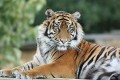 Two Wild Amur Tiger Deaths Clue to Distemper Outbreak