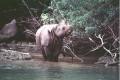 Javan Rhino Declared Extinct in Vietnam