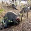 Poachers Kill Hundreds of Elephants in Cameroon National Park