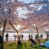 Japan's Noda in Washington: Cherry Blossoms and Nuclear Disaster