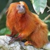 Western Hemisphere Monkeys Likely to Perish in Climate Squeeze