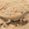 No Endangered Species Status for Dunes Sagebrush Lizard