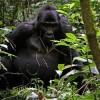 Mountain Gorilla Populations Grow as Conservation Succeeds