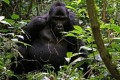 Mountain Gorilla Populations Grow as Conservation Succeeds