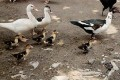 New Lethal Bird Flu Strain Emerges in Indonesian Ducks