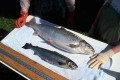 Genetically Engineered Salmon Closer to U.S. Approval
