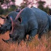 Governments Shield Rhinos, Elephants From Illegal Trade
