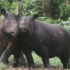 Indonesia, Malaysia Agree to Save Last 100 Sumatran Rhinos