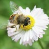 Honey Bee Decline Due to 'Complex' Multiple Factors