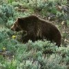 Threatened Grizzly Bears in Montana to Lose Federal Protection