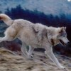 Gray Wolves Could Come Off U.S. Endangered Species List