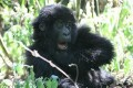 World Heritage Body Wants Drilling Ban in Gorilla Sanctuary