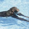 Apes Can Swim and Dive