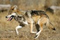 Mexican Gray Wolves Gain Protection in Arizona, New Mexico