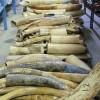 U.S. to Crush Six Tons of Contraband Elephant Ivory