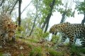 Russian Big Cats to Benefit as GEF Funds First Nonprofits