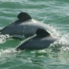 New Zealand's Endangered Dolphins Slide Toward Extinction