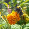 Neonicotinoid Pesticides Harm Bees' Foodgathering Ability
