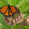 Monarch Butterfly 2013 Migration Smallest on Record
