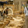 Obama Bans U.S. Commercial Trade of Elephant Ivory