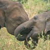 Asian Elephants Console Other Elephants in Distress