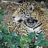 U.S. Designates Critical Habitat for Endangered Jaguars