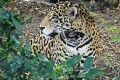 U.S. Designates Critical Habitat for Endangered Jaguars
